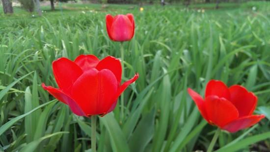 Les détails fins des pétales de tulipes sont perdus.