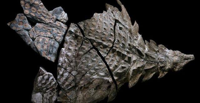 Le meilleur spécimen de dinosaure momifié a été découvert en Alberta