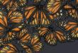 Mariposas: l'entomologie succède à l'ornithologie